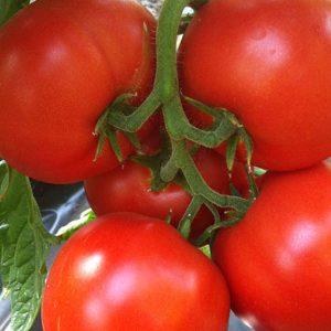 pr-agro-agilis-f1-tomat-enza-zaden