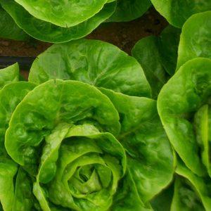 pr-agro-albara-f1-salat-romano-enza-zaden