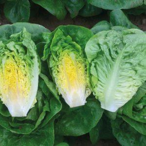 pr-agro-almadraba-f1-salat-romano-enza-zaden