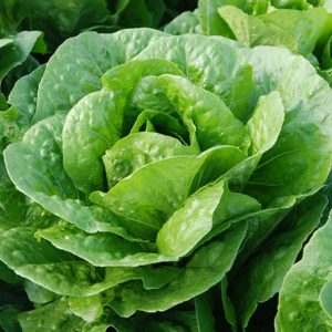 pr-agro-baczio-f1-salat-romano-enza-zaden