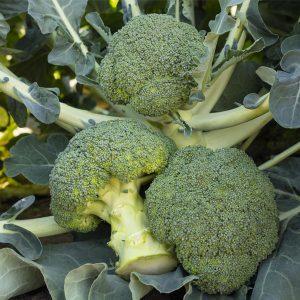 pr-agro-bataviya-f1-brokkoli-bejo