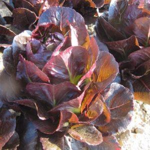 pr-agro-batlstar-f1-salat-romano-enza-zaden
