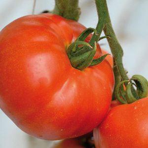 pr-agro-berberana-f1-tomat-enza-zaden