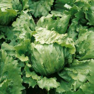 pr-agro-dajmond-f1-salat-ajsberg-enza-zaden