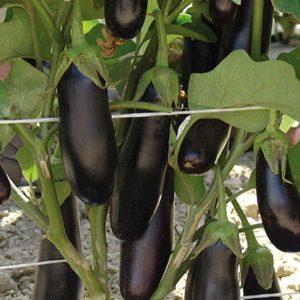 pr-agro-destan-f1-baklazhan-enza-zaden