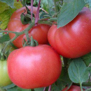 pr-agro-dimeroza-f1-tomat-enza-zaden