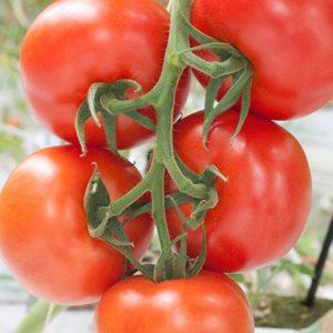 pr-agro-dirk-f1-tomat-enza-zaden