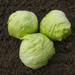 pr-agro-dzhojs-f1-salat-ajsberg-bejo