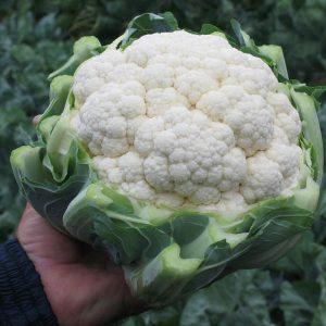 pr-agro-fargo-f1-kapusta-czvetnaya-bejo