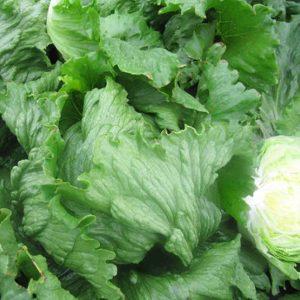 pr-agro-farito-f1-salat-ajsberg-enza-zaden