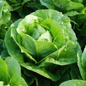 pr-agro-korbana-f1-salat-romano-enza-zaden