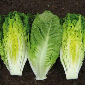 pr-agro-ksanadu-f1-salat-romano-enza-zaden
