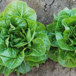 pr-agro-ksiomara-f1-salat-romano-enza-zaden