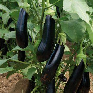 pr-agro-mabel-f1-baklazhan-enza-zaden