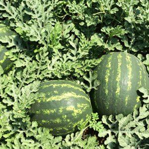 pr-agro-maristo-f1-arbuz-enza-zaden