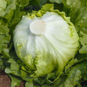 pr-agro-novis-f1-salat-ajsberg-bejo