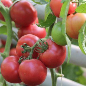 pr-agro-pink-shajn-f1-tomat-enza-zaden