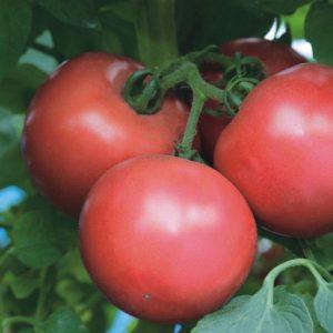 pr-agro-pink-trit-f1-tomat-enza-zaden