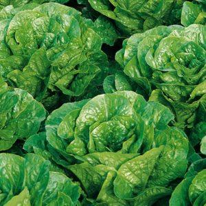 pr-agro-pinokkio-f1-salat-romano-enza-zaden