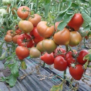 pr-agro-sajmon-f1-tomat-enza-zaden