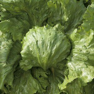 pr-agro-saula-f1-salat-ajsberg-enza-zaden