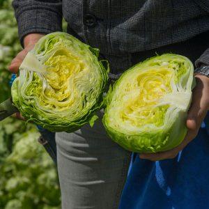 pr-agro-tajms-f1-salat-ajsberg-bejo