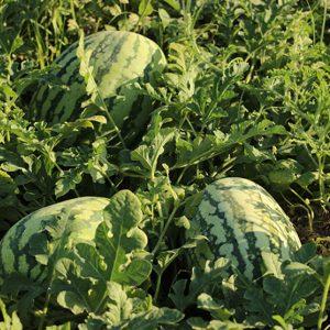 pr-agro-tamtam-f1-arbuz-enza-zaden
