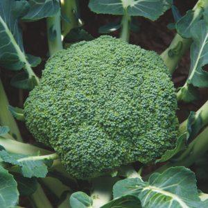 pr-agro-tander-dom-f1-brokkoli-enza-zaden