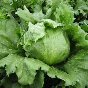 pr-agro-tevion-f1-salat-ajsberg-enza-zaden