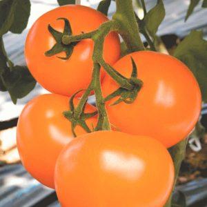 pr-agro-ti-169-f1-tomat-enza-zaden