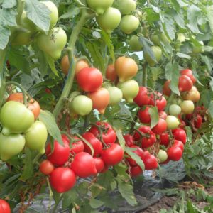 pr-agro-veggo-f1-tomat-enza-zaden