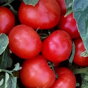 pr-agro-ajvaz-331-f1-tomat-enza-zaden
