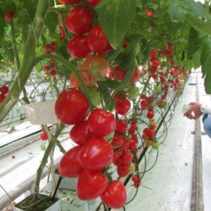 pr-agro-amore-f1-tomat-gavrish