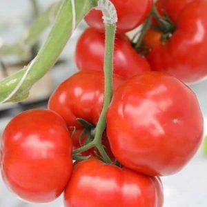 pr-agro-arkaim-f1-tomat-gavrish