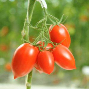 pr-agro-armata-f1-tomat-gavrish