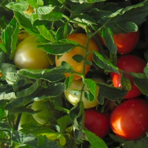 pr-agro-asalet-f1-tomat-enza-zaden