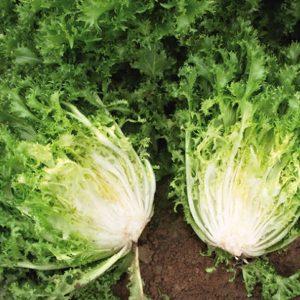 pr-agro-askari-f1-endivij-enza-zaden