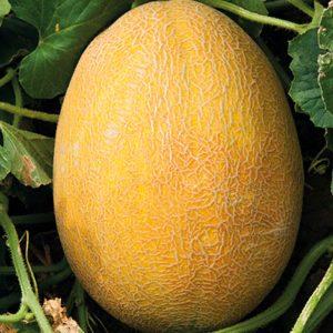 pr-agro-avgustin-f1-dynya-grinomika