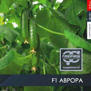 pr-agro-avrora-f1-ogurecz-gavrish