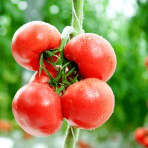 pr-agro-azor-f1-tomat-gavrish