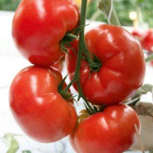 pr-agro-baloven-f1-tomat-gavrish