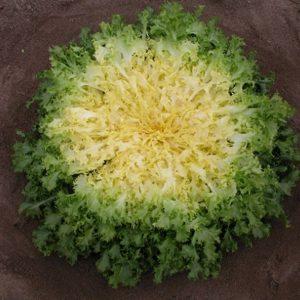 pr-agro-bekele-f1-endivij-enza-zaden