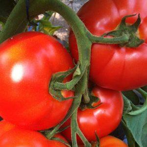 pr-agro-belfort-f1-tomat-enza-zaden