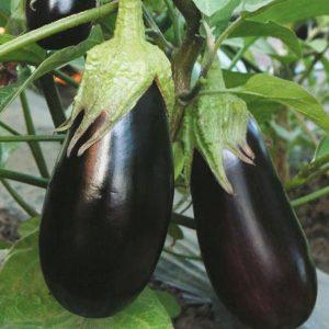 pr-agro-bernar-f1-baklazhan-gavrish