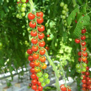 pr-agro-bonbon-f1-tomat-gavrish