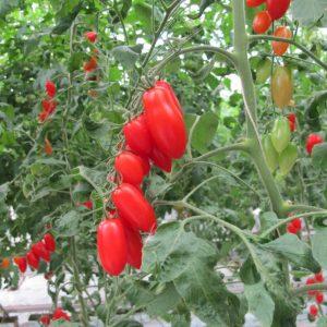pr-agro-bramos-f1-tomat-gavrish