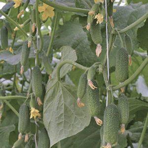 pr-agro-dinastiya-f1-ogurecz-grinomika