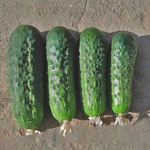 pr-agro-drajv-f1-ogurecz-grinomika