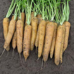 pr-agro-elloustoun-f1-morkov-bejo