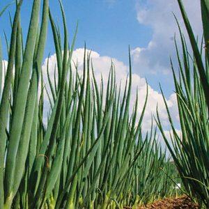 pr-agro-faktor-f1-luk-na-zelen-grinomika